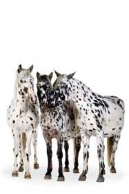 Appaloosa horses