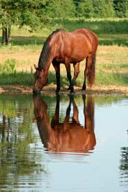 reflection of horse drinking from pond