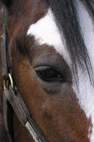 horse eye