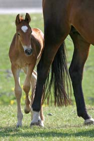 foal hiding behind mother